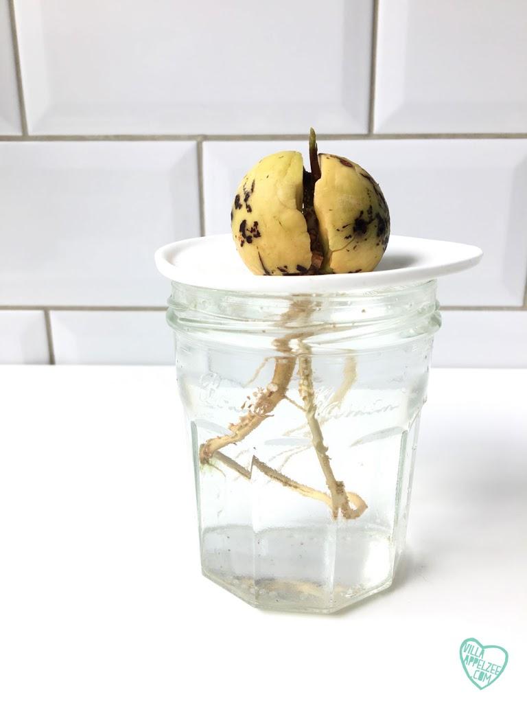 Gebruik een porseleinen schaaltje van Sprout om de avocadopit op te zetten