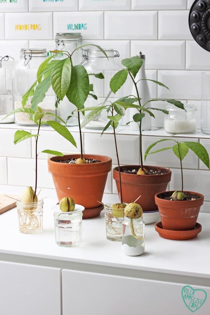 Met de juiste verzorging zal je avocadopit uitgroeien tot een mooie plant
