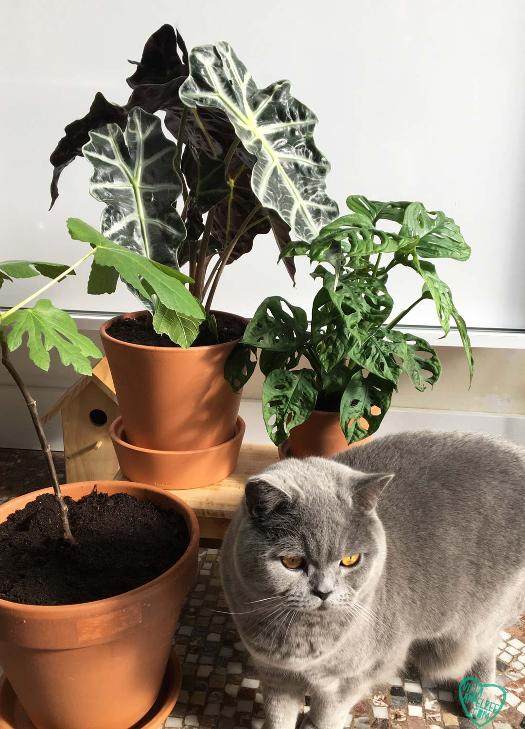 British shorthair with plants